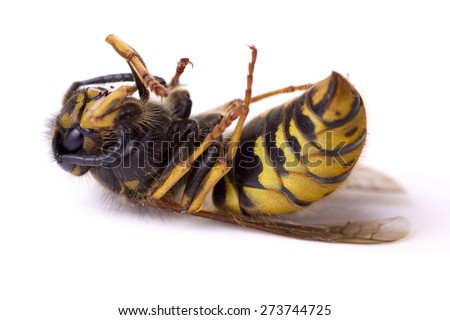 Dead wasp from the United Kingdom - stock photo