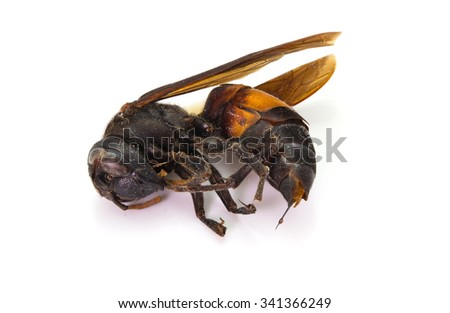 Dead wasp isolated on white background - stock photo