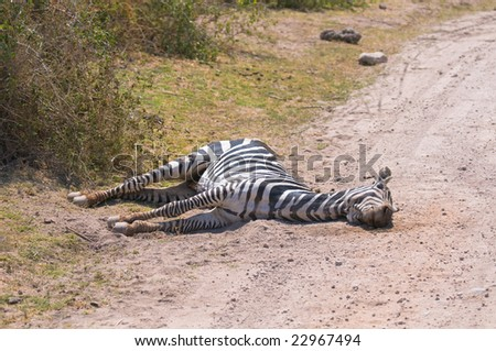 Dead zebra, amboseli national park, kenya - stock photo