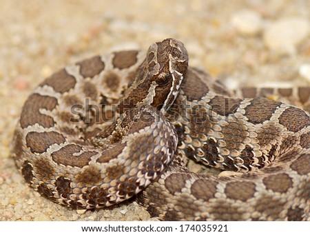 Deadly snakes - close up of Desert (Western) Massasauga rattle snake, Sistrurus catenatus edwardsi,  coiled and ready to strike - stock photo