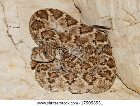 Deadly Snakes - Western Diamondback Rattlesnake, Crotalus atrox, coiled in the rocks and ready to strike  - stock photo