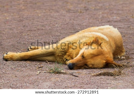 Deadly tired sleeping red mongrel dog on the ground - stock photo