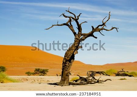 Deadvlei Acacia Tree - Sossusvlei - Namibia - stock photo