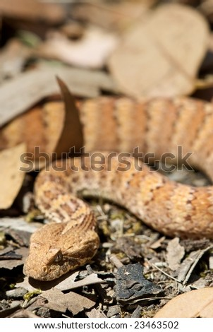 Death Adder sitting in outdoor environment - stock photo