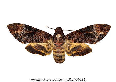 Death head Hawkmoth butterfly isolated - stock photo