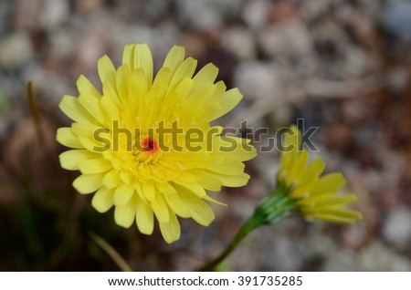 Death Valley Desert Gold wildflower in 2016 super bloom - stock photo