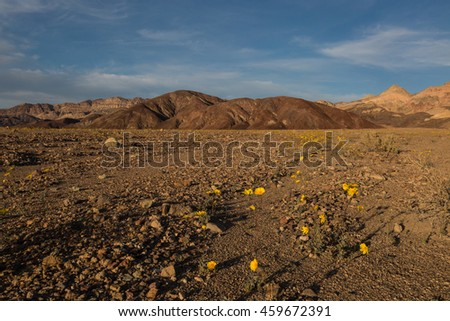 Death Valley wildflower bloom - one of the best in many years.  - stock photo