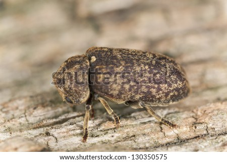Death watch beetle, Xestobium rufovillosum on wood, macro photo - stock photo