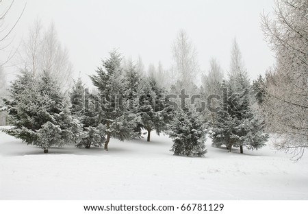 december fir trees in hoarfrost
