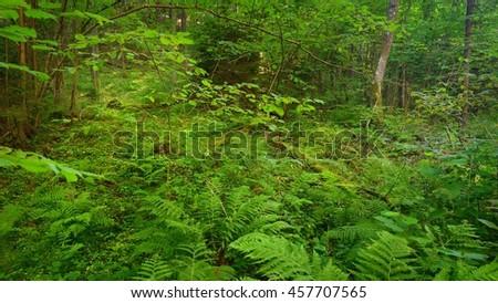 Deciduous forest - stock photo