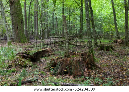 Deciduous stand in fall with old stumps in foreground, Bialowieza Forest, Poland, Europe