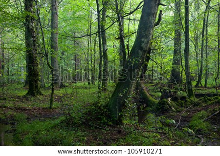 Deciduous stand in morning rain after with old trees in foreground - stock photo