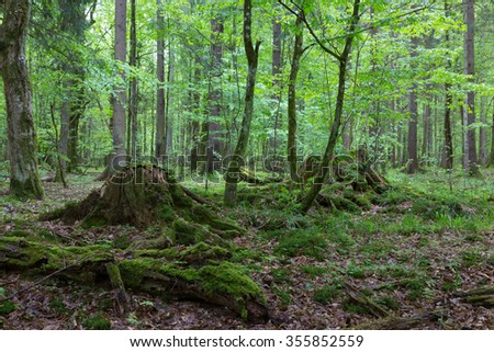 Deciduous stand of Bialowieza Forest in autumn with mossy botom around stumps