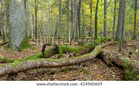 Deciduous stand of Bialowieza Forest in fall with partly declined broken trees in foreground, Bialowieza Forest, Poland, Europe
