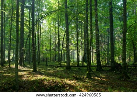 Deciduous stand of Bialowieza Forest in springtime morning light, Bialowieza Forest, Poland, Europe - stock photo
