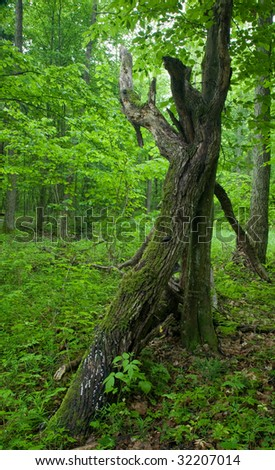 Deciduous stand of Bialowieza Forest in springtime with  dead broken branch partly lying in foreground - stock photo
