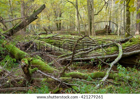 Deciduous stand of Bialowieza Forest in springtime with partly dead broken oak in foreground, Bialowieza Forest, Poland, Europe - stock photo