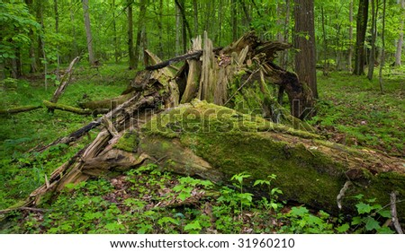 Deciduous stand of Bialowieza Forest in springtime with partly dead broken tree in foreground - stock photo