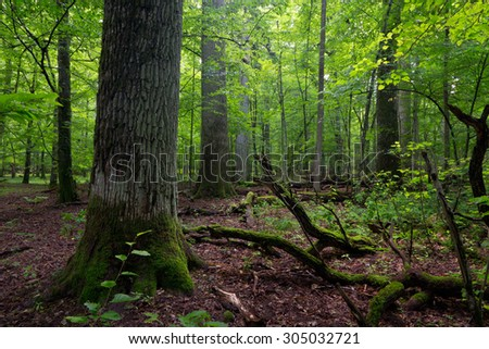 Deciduous stand of Bialowieza Forest in summer with broken trees in foreground partly declined and moss wrapped