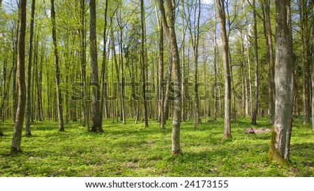Deciduous stand of Bialowieza Forest Landscape Reserve at sunnny springtime day with Wood Anemone  floral bed. - stock photo