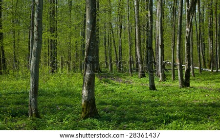 Deciduous stand of Bialowieza Forest Landscape Reserve at sunnny springtime day with Wood Anemone flowering floral bed. - stock photo