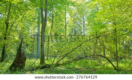 Deciduous trees illuminated by midday bright sun Bialowieza forest,Poland,Europe - stock photo