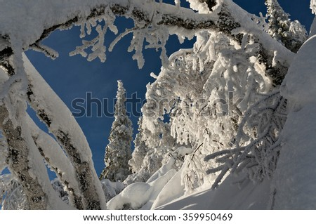 Declinate trees in winter forest covered by snow - stock photo