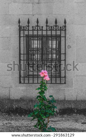 Decolorated old window and some pink roses in the garden - stock photo