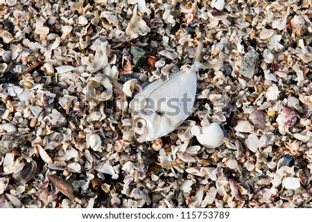 Decomposing dead fish carcass washed ashore on beach with mostly fish bones left - stock photo