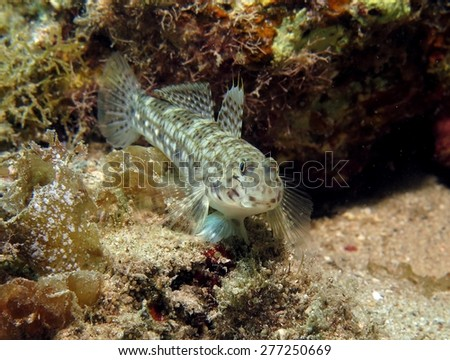 Decorated goby on coral reef - stock photo