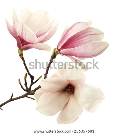 decoration of magnolia  - stock photo