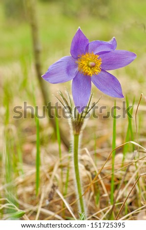 Decoration of the forest in the beginning of may are wild anemones - backache or a dream-grass. - stock photo