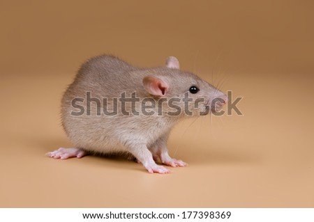 decorative baby rat on a sandy background - stock photo
