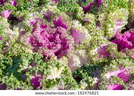 Decorative cabbage, Brassica oleracea - stock photo