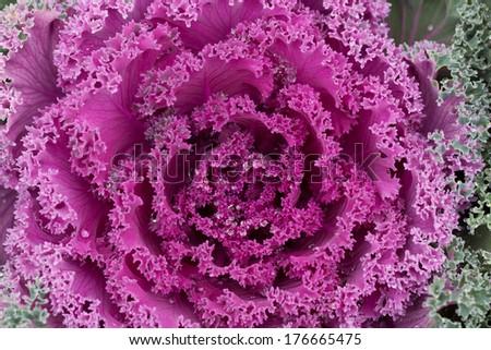 decorative cabbage , Brassica oleracea var. acephala - stock photo