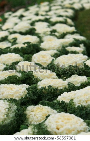 decorative cabbage in blossom Taken from garden at Doi Ang Khang, Chiang Mai, Thailand. - stock photo