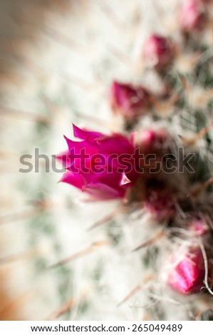 Decorative cactus with flowers and flower buds - stock photo
