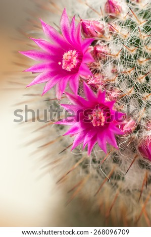 Decorative cactus with flowers and flower buds. - stock photo