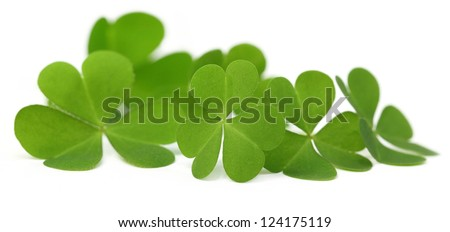 Decorative Clover leaves - stock photo