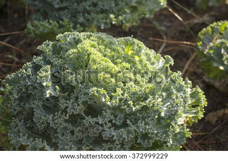 Decorative coloured cabbage