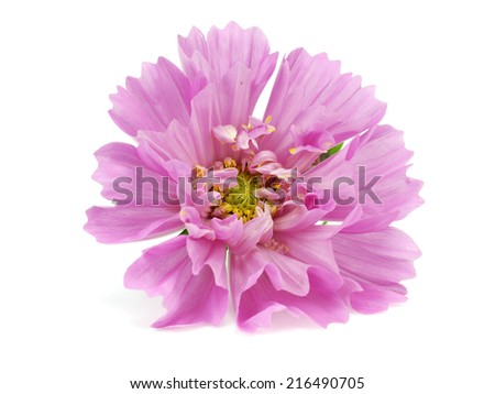 Decorative cosmea flower on a white background     - stock photo