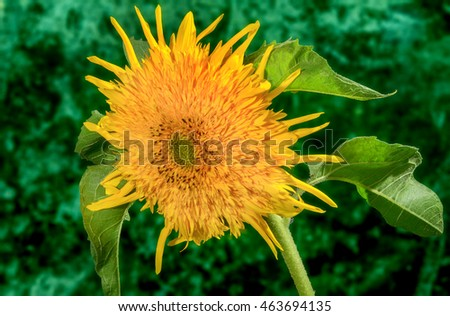 decorative flower sunflower on a green background