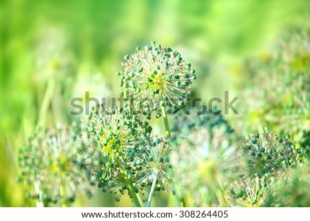 Decorative flowers of onion  in the summer garden - stock photo