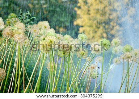 Decorative flowers of onion under water streams in the summer garden - stock photo