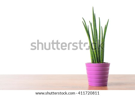 Decorative green house plant in the pot - Sansevieria cylindrica - stock photo
