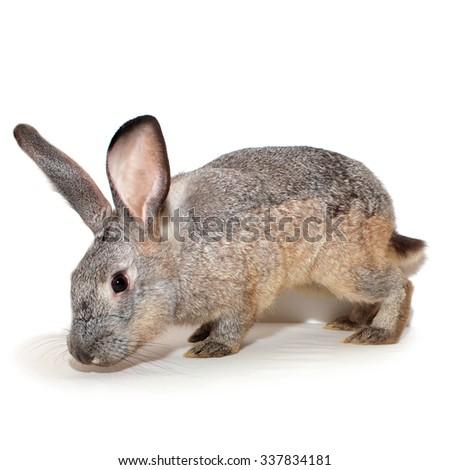 Decorative grey rabbit. Adults male, 1 year old - stock photo
