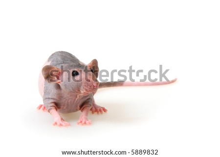 Decorative hairless rat on a white background.