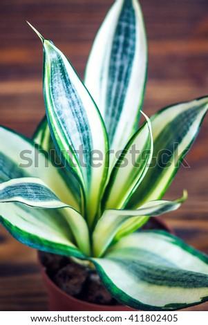 Decorative house plant-Sansevieria trifasciata golden hahnii in a pot on wooden background. Snake plant. - stock photo