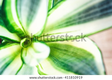 Decorative house plant-Sansevieria trifasciata golden hahnii in a pot on wooden background. Snake plant. Top view. - stock photo