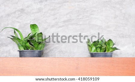 Decorative house Snake plant in a pot  - stock photo